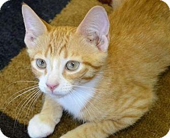 Domestic Shorthair Kitten for adoption in Gettysburg, Pennsylvania - Sonic