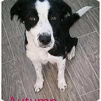 Adopt A Pet :: Autumn - Allen, TX
