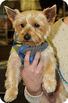 Yorkie, Yorkshire Terrier Dog for adoption in N. Babylon, New York - Monte