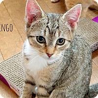 Adopt A Pet :: Ringo - Smithtown, NY