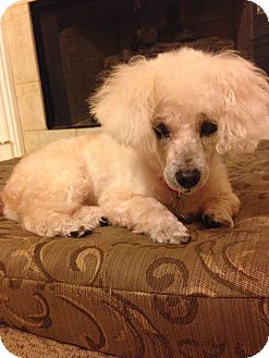 Madison Wi Poodle Miniature Mix Meet Gabby On