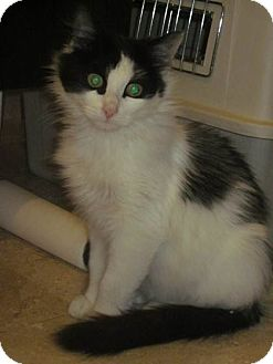 Domestic Longhair Cat for adoption in New York, New York - SABRINA-Gorgeous Kitty'12