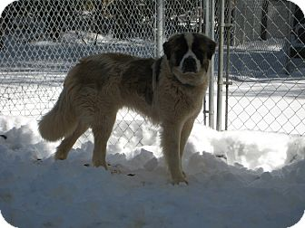 St. Bernard Dog for adoption in Sudbury, Massachusetts - BUFORD