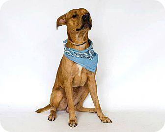 Vizsla Mix Dog for adoption in Tavares, Florida - Monty