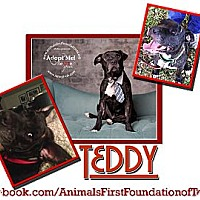 Adopt A Pet :: Teddy - Colleyville, TX