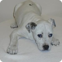 Adopt A Pet :: Willow - Gary, IN
