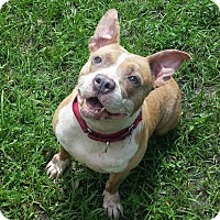 English Bulldog Mix Dog for adoption in Palm City, Florida - Tank