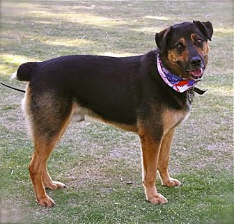 Rottweiler/German Shepherd Dog Mix Dog for adoption in Los Angeles, California - Super handsome Shadow-VIDEO