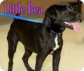 Labrador Retriever Mix Puppy for adoption in Humble, Texas - MISS BEA
