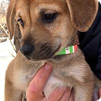 Adopt A Pet :: Sierra-ADOPTION PENDING - Boulder, CO