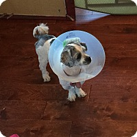 Adopt A Pet :: Pikey - Las Vegas, NV