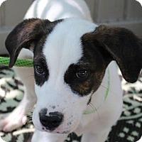 Adopt A Pet :: Romeo - Yardley, PA
