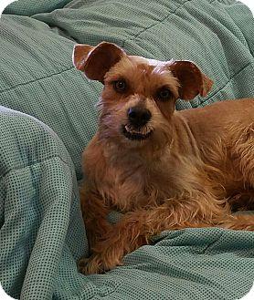 Schnauzer (Miniature) Mix Dog for adoption in Deer Park, Texas - Tango