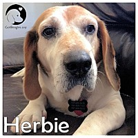 Adopt A Pet :: Herbie - Chicago, IL