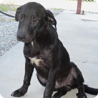 Labrador Retriever/German Shepherd Dog Mix Dog for adoption in Gainesville, Virginia - Ricky