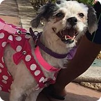 Maltese/Shih Tzu Mix Dog for adoption in Las Vegas, Nevada - Miriam