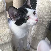Adopt A Pet :: Courage - Richland Hills, TX