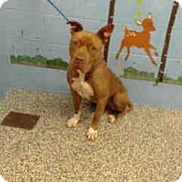 Adopt A Pet :: URGENT on 11/4 SAN BERNARDINO - San Bernardino, CA
