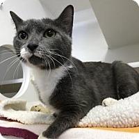 Adopt A Pet :: Primrose - Reisterstown, MD