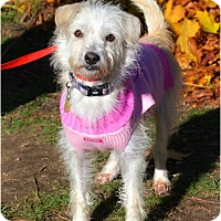 Adopt A Pet :: Vanilla - Huntington, NY