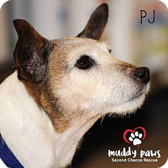 Jack Russell Terrier Mix Dog for adoption in Council Bluffs, Iowa - PJ