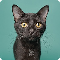 Adopt A Pet :: Soot - Wilmington, DE
