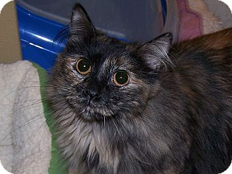Domestic Mediumhair Cat for adoption in Diamond Bar, California - FAITH