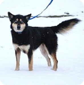 Husky/Shepherd (Unknown Type) Mix Dog for adoption in North Wales, Pennsylvania - Isis
