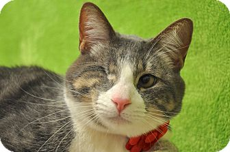 Domestic Shorthair Cat for adoption in Foothill Ranch, California - Lenny