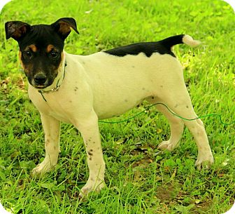 Australian Cattle Dog/Rat Terrier Mix Puppy for adoption in Brattleboro, Vermont - Malcolm