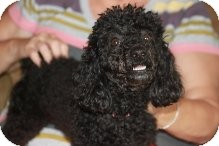 Poodle (Miniature) Dog for adoption in Russellville, Kentucky - Lucy Lou