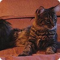 Adopt A Pet :: Mitt - Florence, KY