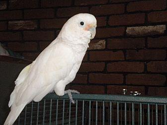 Cockatoo for adoption in Sylmar, California - alex
