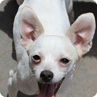 Adopt A Pet :: Penelope-MEET HER! - Norwalk, CT
