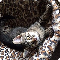 Adopt A Pet :: Louie - Sterling Heights, MI
