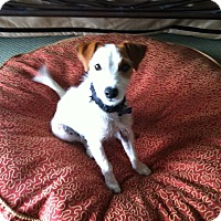 Adopt A Pet :: Lulu LOST! San Antonio - San Antonio, TX