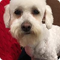 Adopt A Pet :: Annabelle - Santa Ana, CA