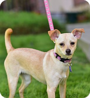 Chihuahua Dog for adoption in Santa Monica, California - Chanel