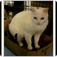 Turkish Van Cat for adoption in Trevose, Pennsylvania - Mariah