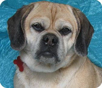 Pug Mix Dog for adoption in Cuba, New York - Zoe