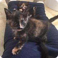 Calico Kitten for adoption in Smyrna, Georgia - Cayenne