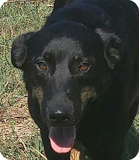 Labrador Retriever/Shepherd (Unknown Type) Mix Dog for adoption in Spring Valley, New York - Newby  (ETAA)