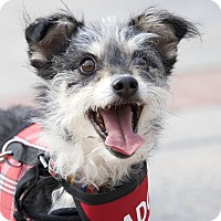 Terrier (Unknown Type, Medium) Mix Dog for adoption in Van Nuys, California - Frazier
