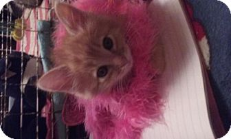 Domestic Longhair Kitten for adoption in Canal Winchester, Ohio - Sunny
