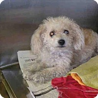 Poodle (Toy or Tea Cup) Mix Dog for adoption in Encino, California - Princensa