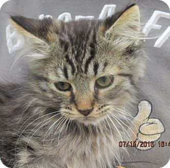 Maine Coon Kitten for adoption in Germantown, Maryland - Hardy