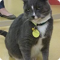 Adopt A Pet :: Munchkin - Hudson, NY