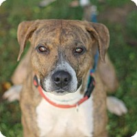 Pit Bull Terrier Mix Dog for adoption in Walla Walla, Washington - Beef