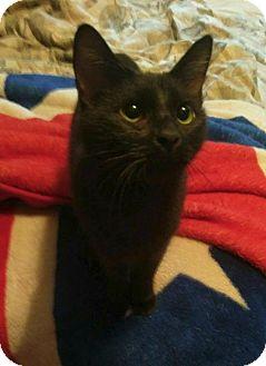 Domestic Shorthair Cat for adoption in Hampton, Virginia - JANICE