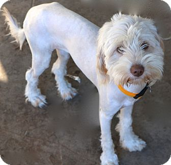 Tibetan Terrier Mix Dog for adoption in Bedminster, New Jersey - Allegra